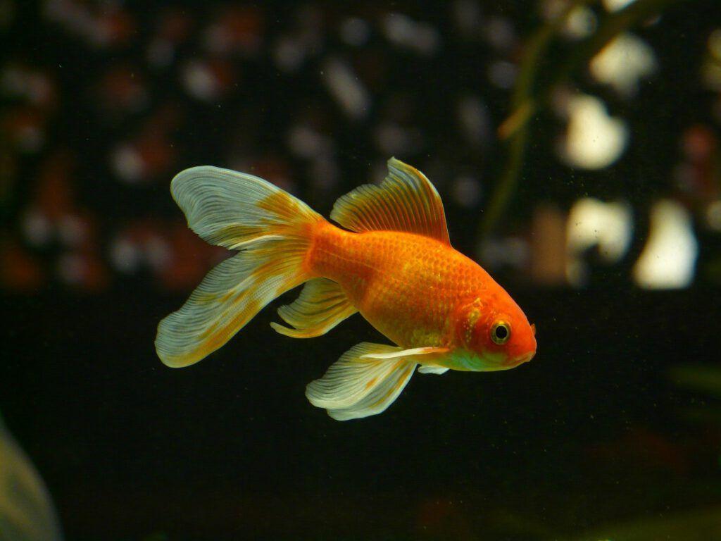 Un pez que tendrá una mejor vida gracias al agua de ósmosis en su acuario, descubre el por qué de su importancia en el blog de star holding.